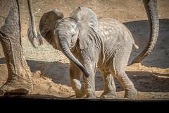 Little Ellie (helenehoffman) Tags: elephant conservationstatusvulnerable africansavannaelephant sandiegozoosafaripark loxodontaafricana calf africanbushelephant mammal animal