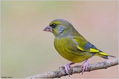 Verdone (Fausto Deseri) Tags: greenfinch carduelischloris verdone parcodellapiana wildlife nature birds wildanimals nikond500 nikkor300mmf28afsii nikontc17eii faustodeseri