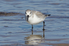 K32P7172a Sanderling, Titchwell Beach, Fevruary 2019 (bobchappell55) Tags: titchwell beach norfolk wild bird wildlife nature wader sanderling calidrisalba feeding