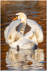 On Golden Pond (www.andystuthridgenatureimages.co.uk) Tags: swan mute wings up feathers lake pond light golden water winter wetland floating canon slim bridge wwt uk