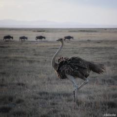 Ostrich from Kenya (juliusjoa) Tags: safari kenya picture photo photography wildlifephotography natgeo travel nature wild afrique africa buffalo autruche ostrich