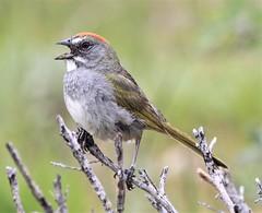 Green-tailed Towhee (Pipilo chlorurus) 06-16-2009 Grand Teton NP--Moose-Wilson Rd., Teton Co. WY 10 (Birder20714) Tags: birds wyoming sparrows towhees emberizidae pipilo chlorurus