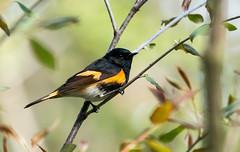 IMG_2037  American Redstart_warbler (ashahmtl) Tags: americanredstart warbler bird songbird setophagaruticilla longpointprovincialpark norfolkcounty ontario canada