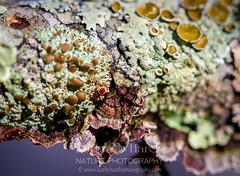Fun Fungi! (Kathy@dornickdesigns) Tags: kathyhardyphotography macrophotography myhandmadelife winter2019 lichen ouryard