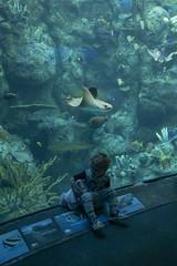 My Ray Of Sunshine (evaxebra) Tags: long beach aquarium pacific aquariumofthepacific california dawn 2019 ash tagyourrags mickey animal sea ray sting manta