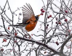 Robin (marianna armata) Tags: fauna bird marianna armata lcc 2019 winter ice frozen berries robin