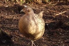 Lady Pheasant (hedgehoggarden1) Tags: pheasant birds rspb wildlife nature creature animal sonycybershot norfolk eastanglia uk bird sony