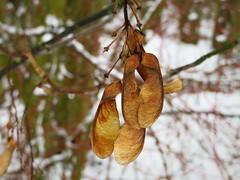 Winterimpressionen (Bea tedo) Tags: winter schnee kälte weis pflanze natur baum ast zweig blatt wasser tropfen flügelnuss ahorn