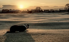 Eye on the ball....xx (shona.2) Tags: winter cold early morning fairway golfcourse houses sunrise light shadows frost layers watching playful ball collie dog pet arthur