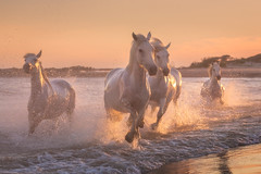 Spirit of the White Horses (Iurie Belegurschi www.iceland-photo-tours.com) Tags: adventure beautiful beach coastal daytours dreamscape earth enchanting equine equines equestrian europe european fineart fineartlandscape fineartphotography fineartphotos guidedphotographyworkshops guidedphotographytour horse horses horsesrunning hot icelandphototours iuriebelegurschi landscape landscapephotography landscapephoto landscapes landscapephotos nature outdoor outdoors ocean orange phototours phototour summer sunset seascape sea tours travel travelphotography view workshop workshops water camargue france french southernfrance white whitehorses
