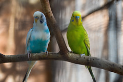 Budgerigar (Melopsittacus undulatus) (Seventh Heaven Photography) Tags: budgerigar melopsittacus melopsittacusundulatus undulatus birds aves emirates park zoo uae abu dhabi united arab nikond3200 blue green yellow white budgie