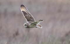 Short-Eared Owl-8143 (seandarcy2) Tags: owls shorteared birds wildlife owl fenland cambs uk handheld bif raptors birdsofprey