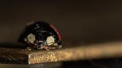Ladybird (KingfishersOfSouthLondon) Tags: ladybird nature wildlife macro macros bug bugs insect insects photography