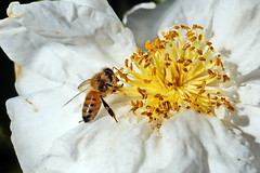 ...honey bee (Jim Atkins Sr) Tags: bee honeybee camelliasasanqua camellia camelliasasanquasetsugekka insect macro closeup northcarolina newbern sony sonyphotographing sonya58