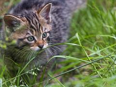 Again, a young wilcat in the grass (Tambako the Jaguar) Tags: wildcat kitten young cute portrait grass vegetation tierpark goldau zoo switzerland nikon d5 feline
