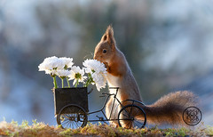 red squirrel with an bike and white flowers (Geert Weggen) Tags: bicycle cycling squirrel animalwildlife animalsinthewild autumn day dinner eating eurasianredsquirrel food foodanddrink fruit grass healthylifestyle horizontal meal metal nopeople old outdoors photography picnic smelling summer sweden tasting transportation wheel woodland working flower aster white bispgården jämtland geert weggen ragunda