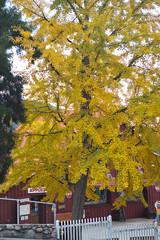 Fall Colors (ronkacmarcik) Tags: california oakglen nikkor357028 fall autumn tree leaves yellow parrish ranch