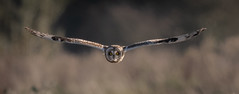Short-eared Owl (Steve D'Cruze) Tags: flammeus asio owl eared short sefton merseyside wildlife nature d500 sigma nikon