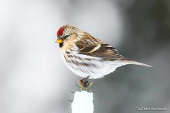 Sizerin flammé - Common Redpoll - Acanthis Flammea (Gilbert Rolland) Tags: gilbertrolland commonredpoll sizerinflammé acanthisflammea hiver winter red rouge