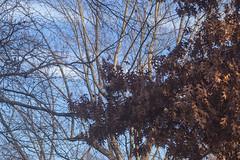 Cool Air Warm Light - Winter Morning (Modkuse) Tags: nature natural sky oak oaktree clouds bluesky art artphotography fineartphotography fineart photoart nikon nikondslr nikon105mmf28macronikkor nikond100