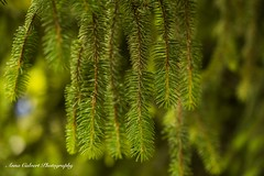Cypress (Anna Calvert Photography) Tags: australia canberra flora floral flowers garden landscape macro macrophotography mygarden nature outdoors petals plants cypress tree