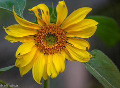 Yellow attraction. (SpyderMarley) Tags: sunflower yellow leaf hoppers largeflower petals nikon tokina100mm leafhoppers leaves