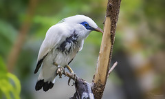 Bali Myna (Paula Darwinkel) Tags: bali myna starling bird animal wildlife nature wildlifephotography birds