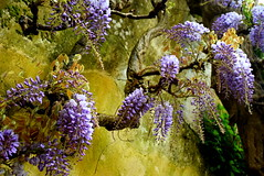 300 years old wisteria  2 (Roi.C) Tags: flowers garden blossom nature season outdoor outside purple macro bokeh colors colours bright light digital photo sharp 2018 april nikkor nikon d5300 28140mm portugal europe composition wisteria flower