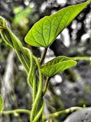 Twisted plant (tomquah (busy period)) Tags: twistedplant macromondays bokeh tomquah macro nature plants green picktwo