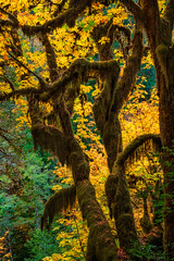 Autumn Forest (NW Vagabond) Tags: purple forest autumn fall trees leaves moss yellow backlighting glow oregon coast 2018 backlit
