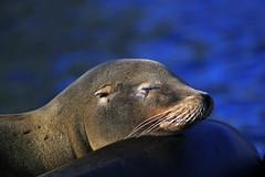 kalifornischer Seelöwe (Michael Döring - thx for 20.000.000 views) Tags: gelsenkirchen bismarck zoomerlebniswelt zoo kalifornischerseelöwe seal afs70200mm28g d800 michaeldöring
