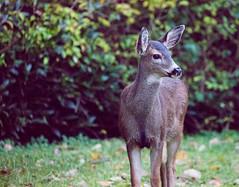 FY6 (beelzebub2011) Tags: canada britishcolumbia northvancouver street deer wildlife