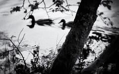Tranquility (Anne Worner) Tags: anneworner blackandwhite em5 lensbaby olympus bw mono sweet35 tree water grain ducks aves waterfowl swimming restful manualfocus silverefex ripples manualfocuslens