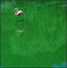 pink flamingo in green algae (steve-jack) Tags: hasselblad 501cm 150mm kodak portra 160vc film 120 6x6 tetenal c41 kit epson v500
