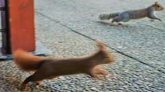 DSC03505 (2) (kriD1973) Tags: europa europe italia italy italien italie lombardia lombardei lombardie monza brianza golf club milano squirrel eichhörnchen scoiattolo écureuil