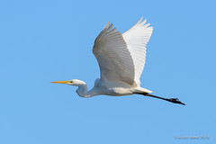 Garça-branca-grande | Great egret | Egretta alba (Álvaro Nunes) Tags: lezíriagrandedevilafrancadexira garçabrancagrande greategret egrettaalba