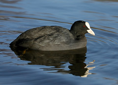 Eurasian Coot --- Fulica atra (creaturesnapper) Tags: waterbirds waterfowl birds uk europe eurasiancoot fulicaatra