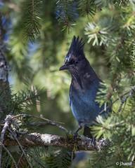 Steller's Jay (John W. Hamil) Tags: birds jays stellersjay nature