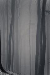 20190202-037 (sulamith.sallmann) Tags: landschaft pflanzen wetter baum botanik brandenburg buche buchenwaldgrumsin bäume deutschland europa laubbaum natur nebel nebelig pflanze uckermark wald weltnaturerbe winter winterlich sulamithsallmann
