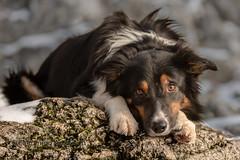 Yatzy (Flemming Andersen) Tags: portrait bordercollie yatzy outdoor animal pet hund kraków lesserpolandvoivodeship poland pl