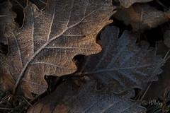 Givre_MG_0015 (H.Valez) Tags: paysage nature feuille givre clair obscur brun noir froid hiver cévennes