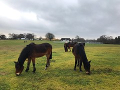 New Forest Ponies (Marc Sayce) Tags: pony ponies boltons bench lyndhurst hampshire new forest national park winter january 2019 notrealtags bikini speedo topless naked nude milf