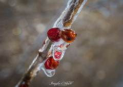 Frozen Berries (JenniferCShade) Tags: afterthestorm berries countryliving frozen ice jennifercshade nature ohio ourneckofthewoods