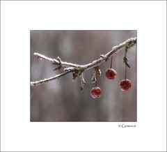 Maraschino (* Gemini-6 *) Tags: cherry tree ice snow nature winter weather framed bokeh three