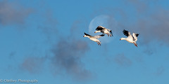 Glide Path (OJeffrey Photography) Tags: bosquedelapache snowgeese birdsinflight fullmoon moon pano panorama birds newmexico nm wildliferefuge ojeffrey ojeffreyphotography jeffowens nikon d500
