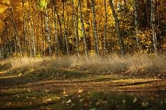 IMGP0663 (grun.berger) Tags: jesien jesiennafotografia jesiennebarwy jesiennyklimat daryjesieni wood forest tree nature landscape fall season birch outdoors park jesień autumn zielonagóra zgora zielonagora sun scene scenic
