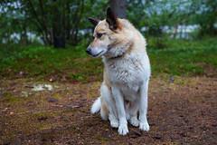 (Бесплатный фотобанк) Tags: россия мурманскаяобласть кольский полуостров собака пес
