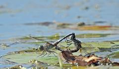 Dragonfliy ♀♂ - Libellules ♀♂ (P9_DSCN9045-1PE-20180810) (Michel Sansfacon) Tags: nikoncoolpixp900 parcnationaldesîlesdeboucherville parcsquébec faune libellule dragonfly
