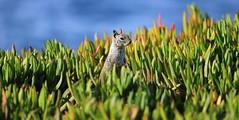 3474 California Ground Squirrel, Ellen Browning Scripps Park, La Jolla, CA (Traveling Man – Back after a long absence) Tags: canoneos5dmarkiii ef70200mmf28lisiiusm lajolla sandiego california unitedstates america us usa coastline seashore shoreline pacificocean thejewel jewelcity animalia chordata mammalia rodentia sciuridae otospermophilus otospermophilusbeecheyi ground squirrel californiagroundsquirrel beecheygroundsquirrel groundsquirrel westernunitedstates bajacaliforniapeninsula fur ears eyes whiskers bushy coastal animal mammal seaside wildlife nature affluentcommunity city rocks cliff ocean water carpobrotusedulis groundcreeping plant succulent leaves hottentotfig iceplant highwayiceplant pigface sourfig suurvy creeping matforming species figmarigold aizoaceae naturalised invasivespecies ecological monospecificzones plantae angiosperms eudicots coreeudicots caryophyllales carpobrotus markaveritt