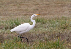 Great Egret (dennis_plank_nature_photography) Tags: avianphotography greategret ridgefieldnwr birdphotography naturephotography ridgefield wa avian birds nature